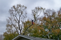 Removing trees in a city has to be done carefully, particularly with utility lines nearby.